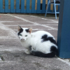 Black & white young cat found