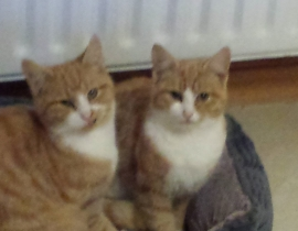 2 Ginger Cats Missing