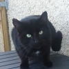 Black Cat Found