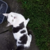 Found white and black cat