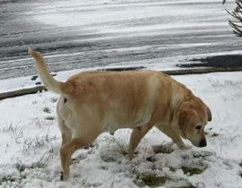 Missing labrador Castlebar