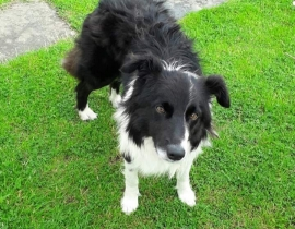 Dog (black & white Collie)