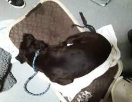 Male chocolate labrador found at Pallasgreen Limerick