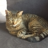 ROSCAM- SMALL MACKERAL TABBY CAT MISSING :(