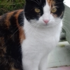 Missing female cat Tigra