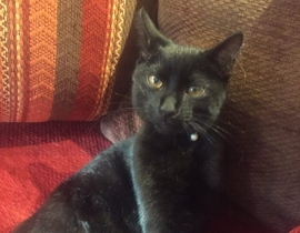 Young male black shorthaired cat