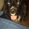 Lost black cocker spaniel