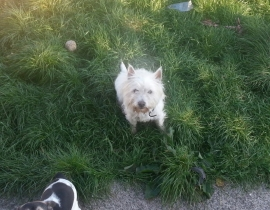 Westie missing in finglas area