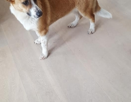 Corgie found in Ballinascorney area