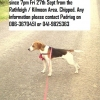 Beagle Dog Lost in Meath
