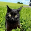 Missing black cat from Boyle area, Roscommon