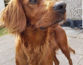 Young Red Setter