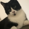 Lost black and white male cat