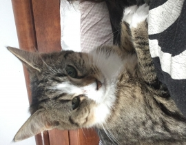 One year old female tabby missing from baldoyle Sutton area