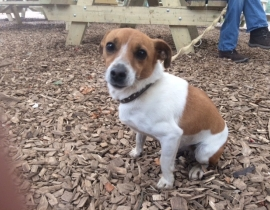 Found: Jack Russel (female)