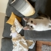 Lost white & tabby kitten
