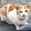 Ginger & White Adult Cat Found in Foxrock
