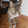 Found tabby cat 16 may nearby feehills in Crumlin