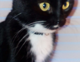 Small tuxedo cat missing from Sutton