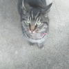 Unknown-Tabby female red collar Earls Court Waterford