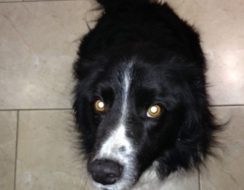 Missing border collie around Monaghan answers to the name Bobby