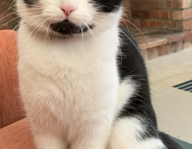Black and white Male Cat