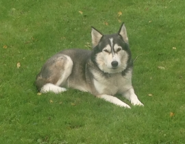Gery Female Husky Lost in Ballinhassig
