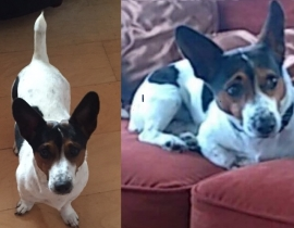 Missing White, brown & Black Jack Russell