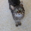 Male Tabby cat found in Raphoe Co. Donegal