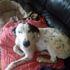 Lurcher / Dalmation Cross