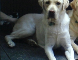 Yellow labrador missing from Cork