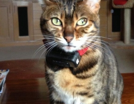 Bijou - Bengal cat missing in the Knockahone / Barntown area of Wexford