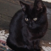 Black Kitten Found Ranelagh/Rathmines Dublin 6