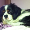 Missing King Charles Cavalier since March 19 from Limerick area