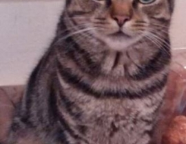 Grey Tabby Small Cat Neutered Male Grattan Hill Lower Glanmire Road area