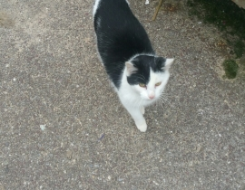 Lost black & White Young Cat