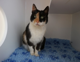 Female cat found Falcarragh, Co. Donegal