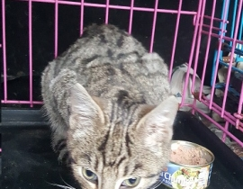Young Cat Found Ballinagare Area