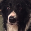 Collie found in Lucan