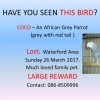 African Grey Parrot-Coco