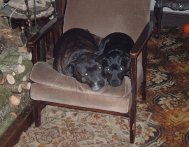Missing two Staffordshire terriers
