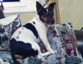 Rocky - Jack Russell