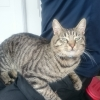 Young Female tabby cat