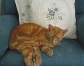 Missing ginger cat, Killorglin area, Co. Kerry