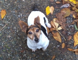 Missing Pet Dog, Jack Russell