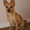 Lost small younge terrier lost near Pink Elephant/Habour view Corknown-