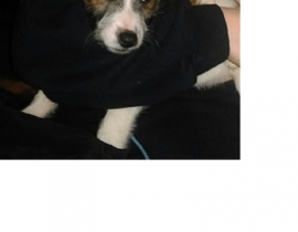 Jack Russel Lost in Ballyfermot 7April18