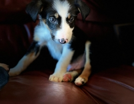 Lost collie pup