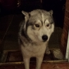 Male Husky found on Ardee Road, Dundalk