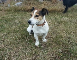 Lost. Jack russell